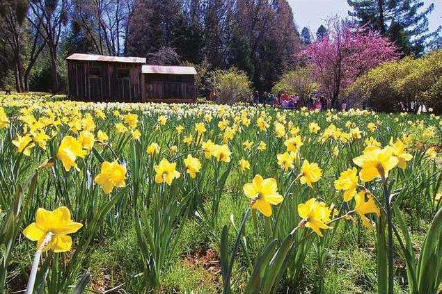 Daffodil-hillc-two-LT