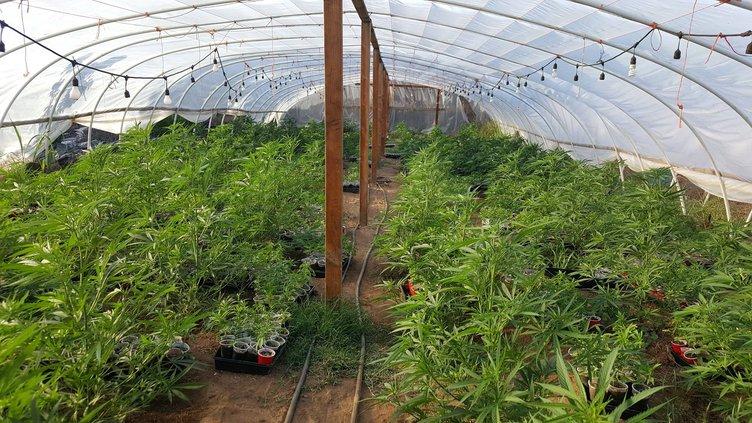 Ballico marijuana grow
