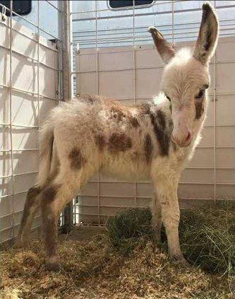 Fair donkey