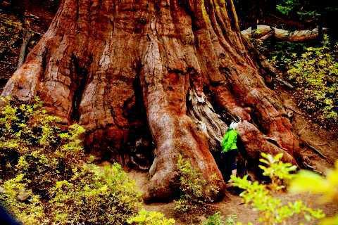 yosemite sequoia copy