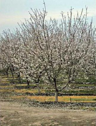almonds-pic1