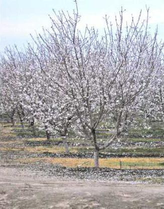 almonds pic1