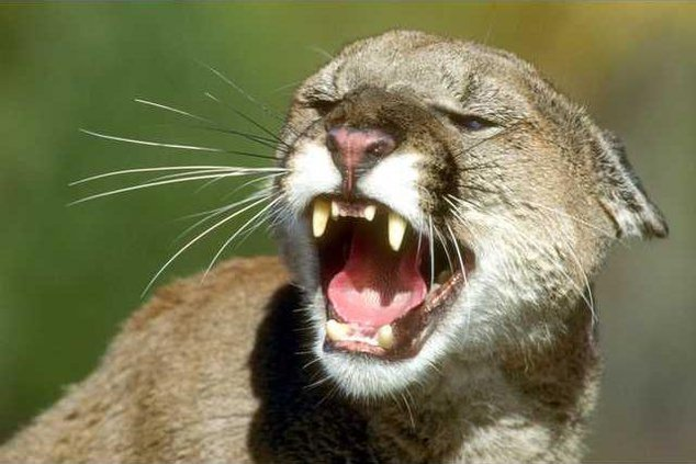 mountain lion pic