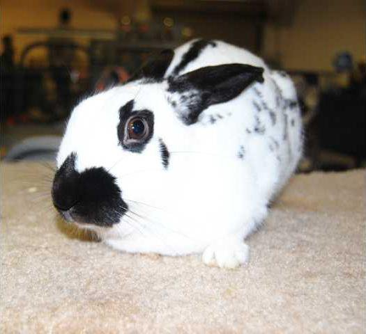 Rabbits and cavies take over fairgrounds at annual show