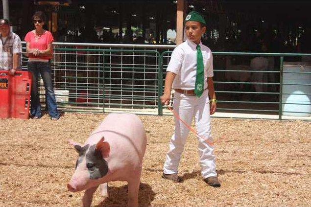 31-exhibitor pig