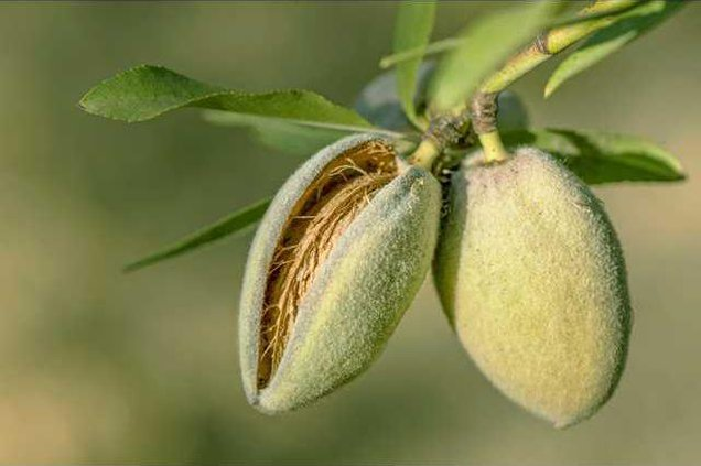 Almond-harvest 091112 235MOD1