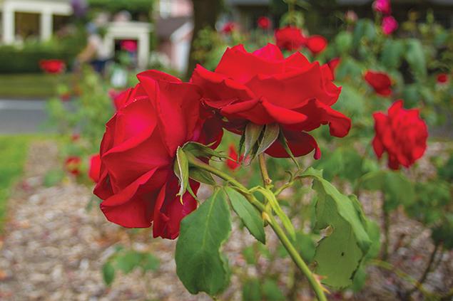 2533-Roses.png