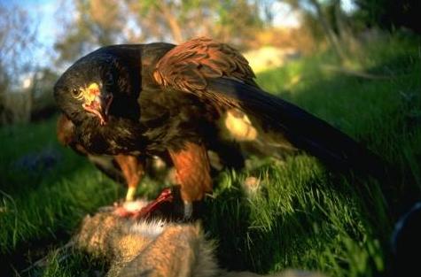 Hawk pix CO.png