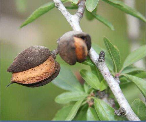 almonds.tif