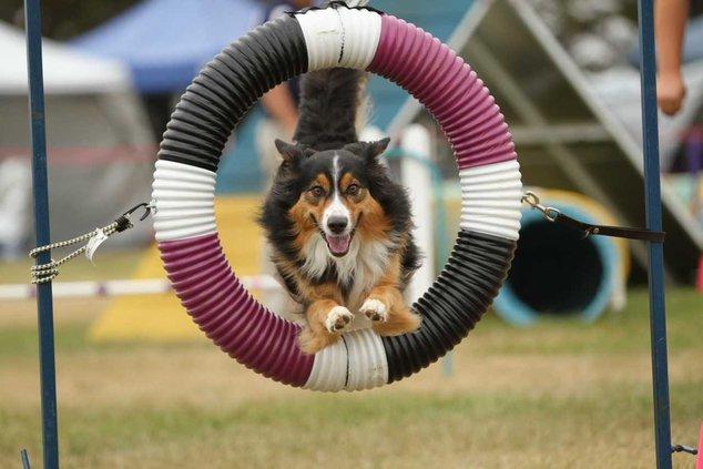 dog agility trials 1