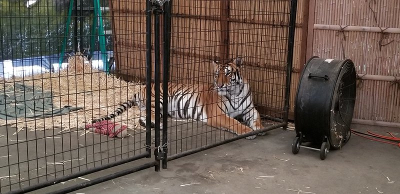 Fair tiger in cage pic